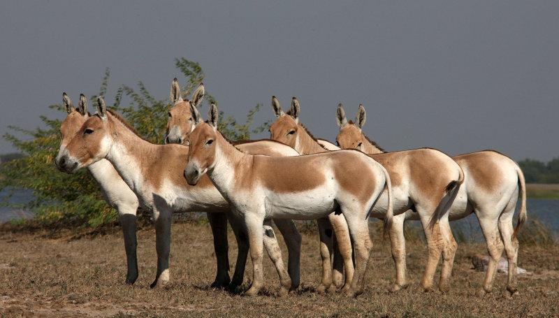 Asino Indiano selvatico - Fonte immagine pbase.com