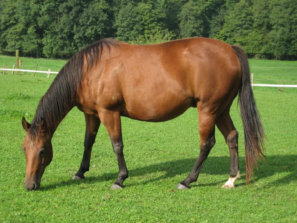 Cavallo - Fonte immagine commons.wikimedia.org