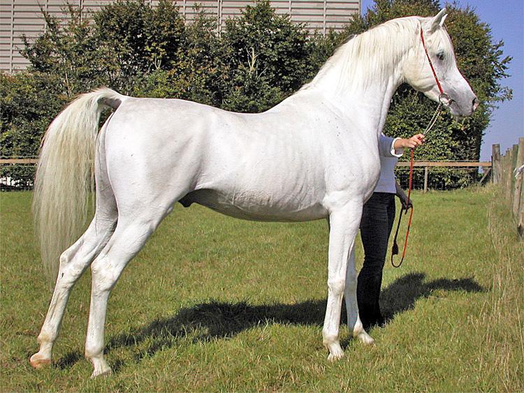 Cavallo Arabo - fonte immagine wikipedia.org