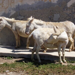 Asino dell'Asinara