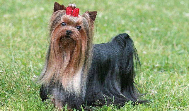 Yorkshire Terrier - Fonte immagine dog-breeds.findthebest.com