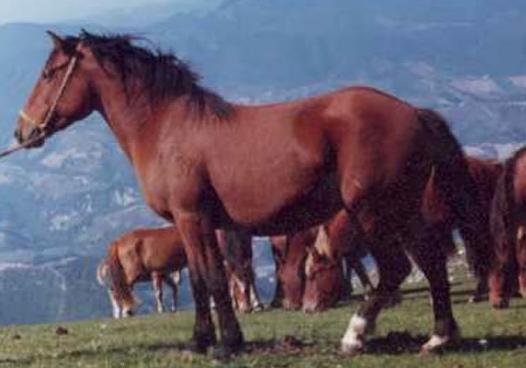 Cavallo Appenninico - Fonte immagine wikipedia.org