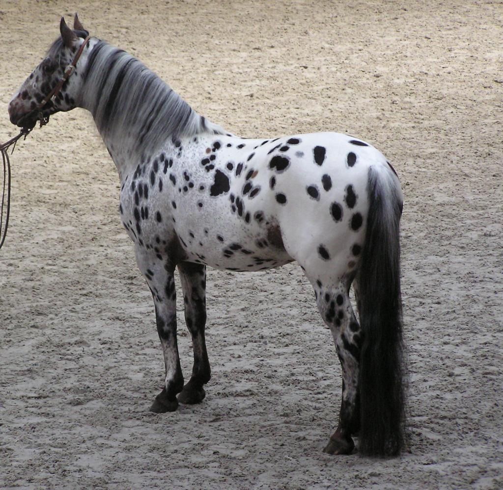 Cavallo Appaloosa - Fonte immagine wikipedia.org