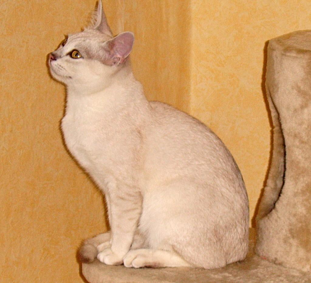 Gatto Burmilla - Fonte immagine wikipedia.org