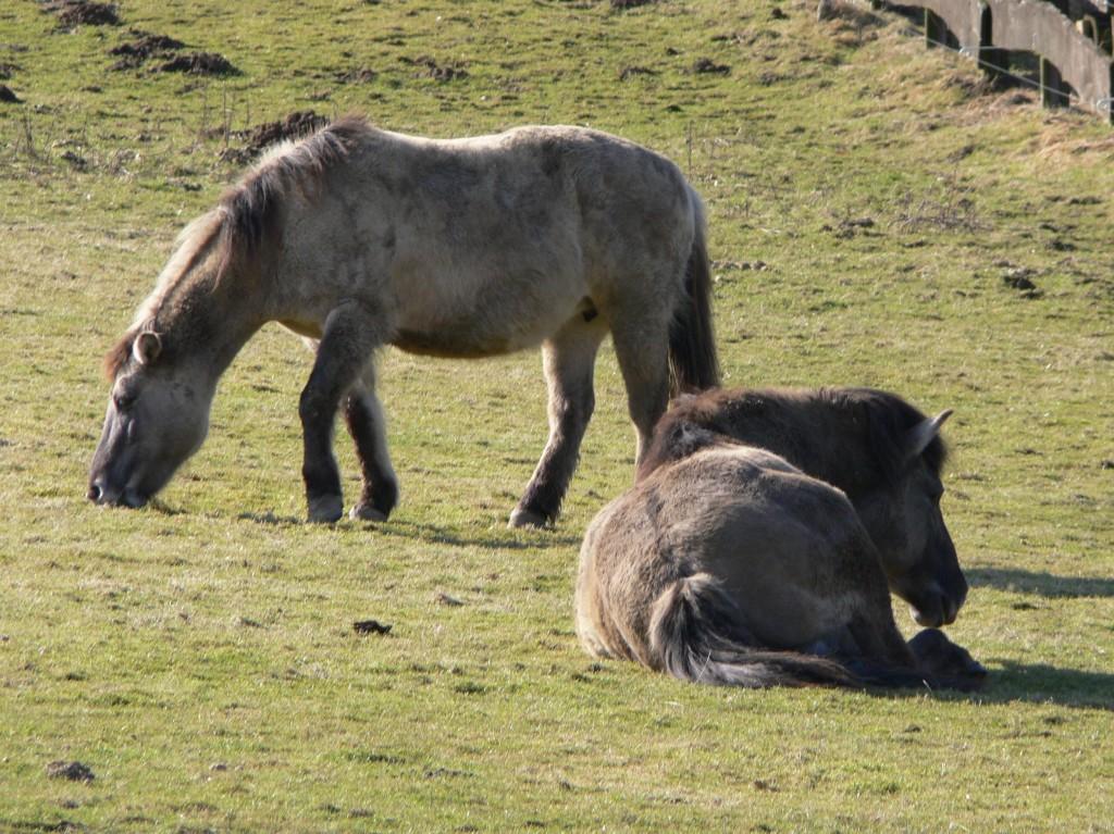 Cavallo Tarpan - Fonte immagine commons.wikimedia.org