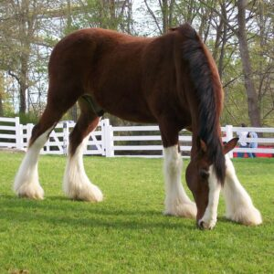 Read more about the article Clydesdale