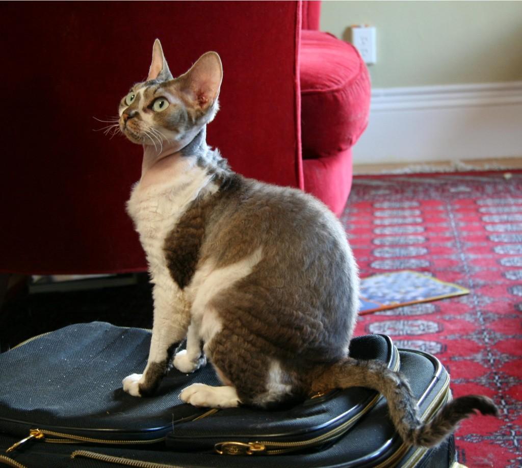 Gatto Devon Rex - Fonte immagine wikipedia.org