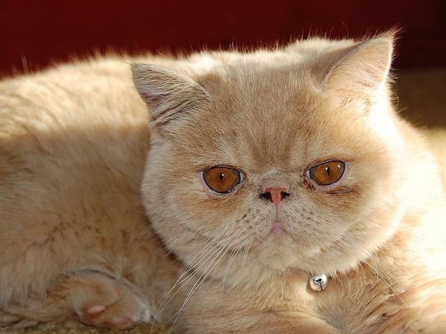 Gatto Exotic