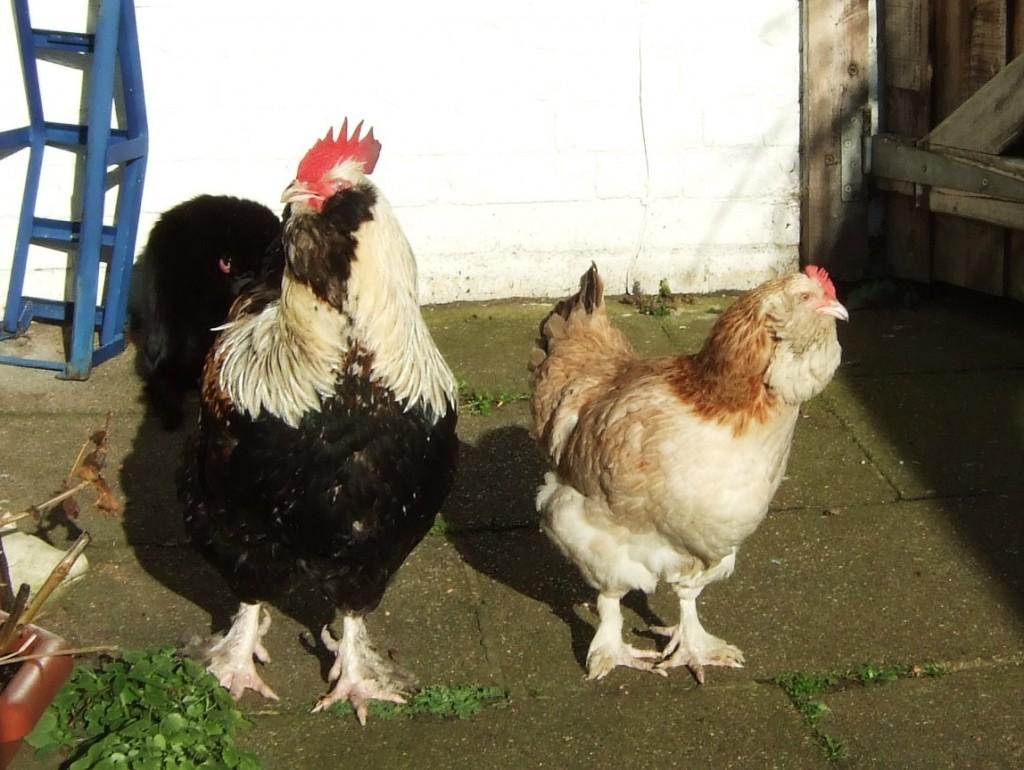Pollo Faverolles - Fonte immagine it.wikipedia.org