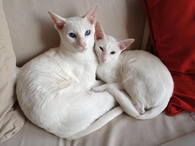 Gatto Foreign White - Fonte immagine en.wikipedia.org