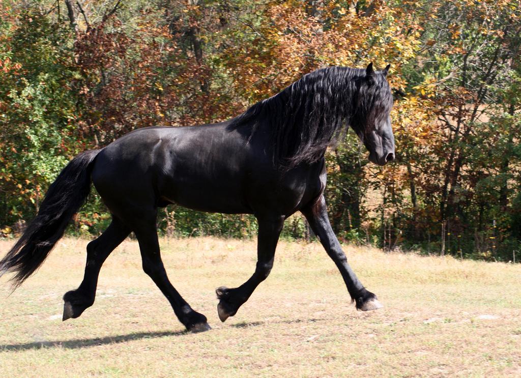 Cavallo Frisone - Fonte immagine commons.wikimedia.org