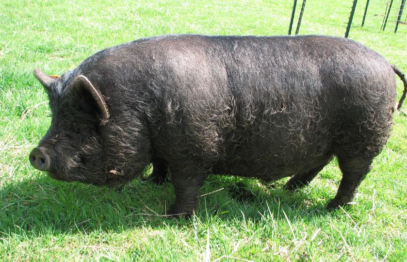 Suino Guinea - Fonte immagine cascademeadowsfarm.com