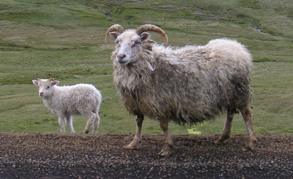 Pecora Icelandic - Fonte immagine commons.wikimedia.org