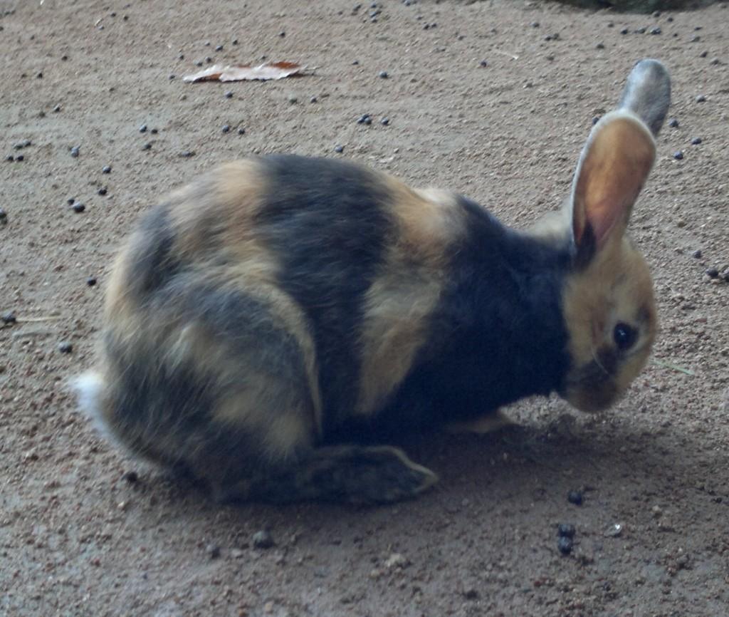 Coniglio Giapponese - fonte wikipedia.org