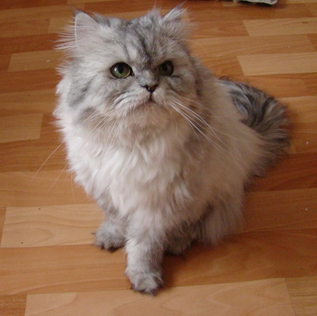 Gatto Persiano - Fonte immagine wikipedia.org