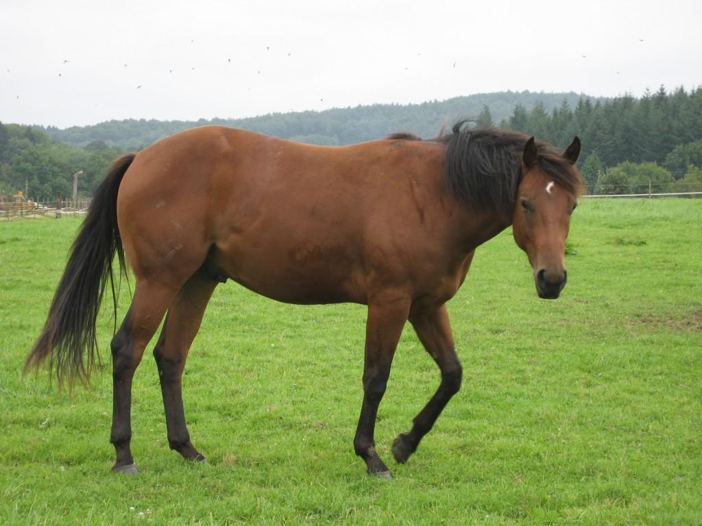 Cavallo Quarter - Fonte immagine commons.wikimedia.org