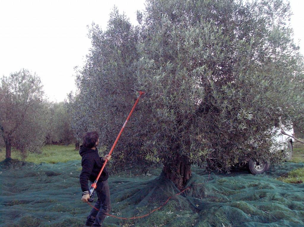 Raccolta Olive - Fonte immagine commons.wikimedia.org