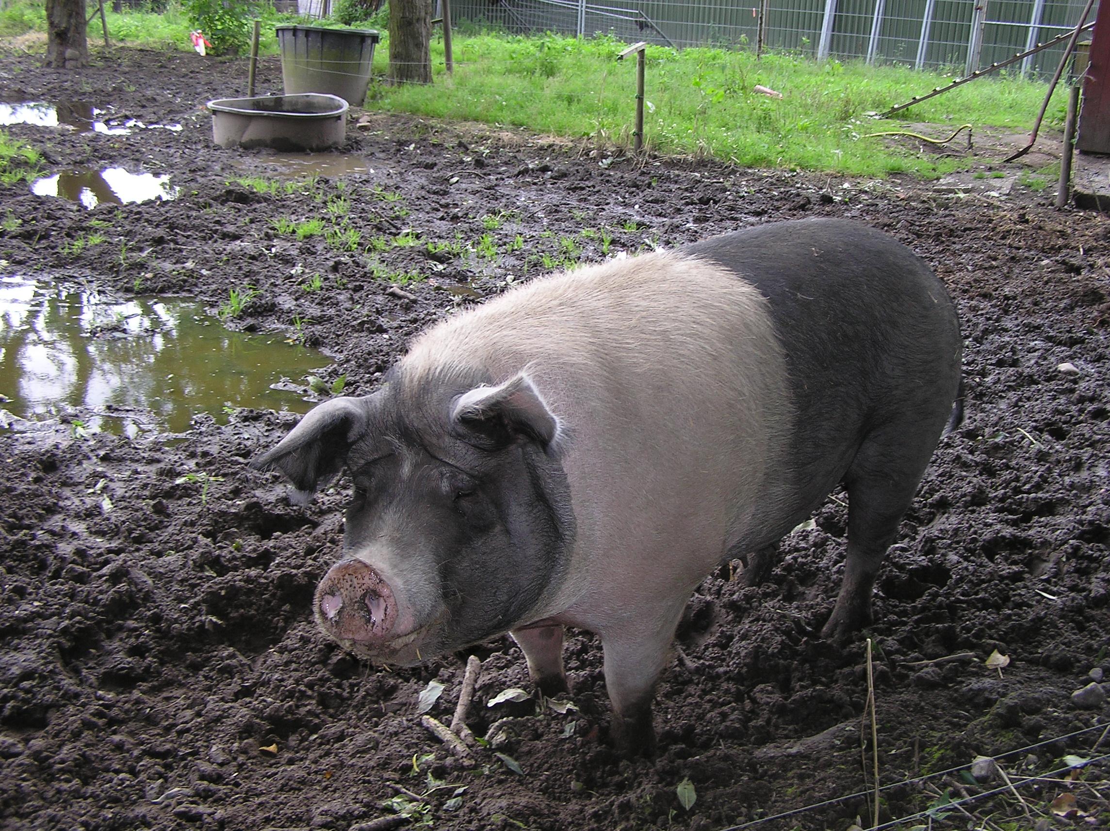 Angeln Sattelschwein