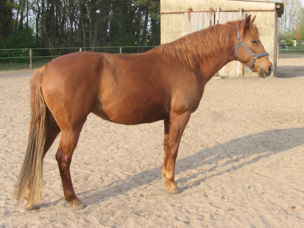 Cavallo Berbero - Fonte immagine wikipedia.org