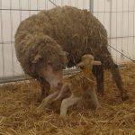 Questa è la storia dell'agnellino Giorgio
