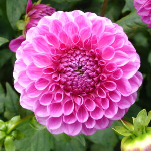 Read more about the article Dahlia