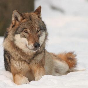 """Perché si dice """"In bocca al lupo""""?"""