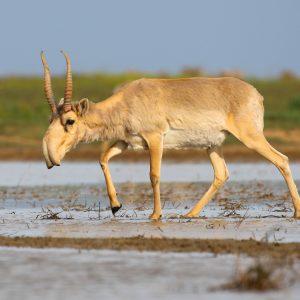 Saiga Tatarica – Antilope Euroasiatica